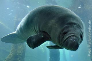 Unterwasseraufnahme einer Seekuh