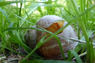 leeres Schneckenhaus im Gras